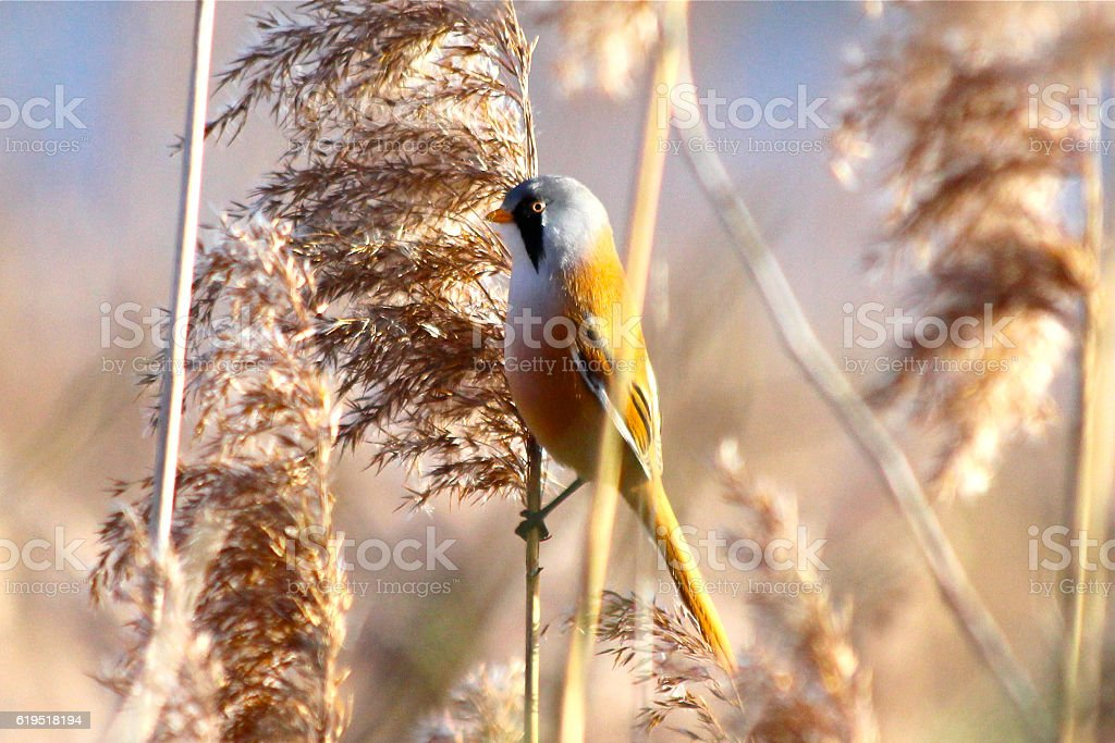 Bearded tit stock photo