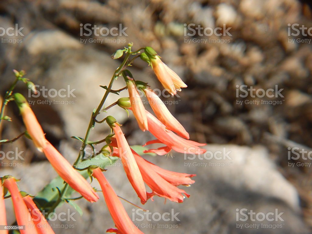 Beardlip Penstemon Flowers in Bloom stock photo