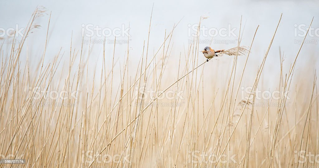 beared tit with nesting material in the bill stock photo