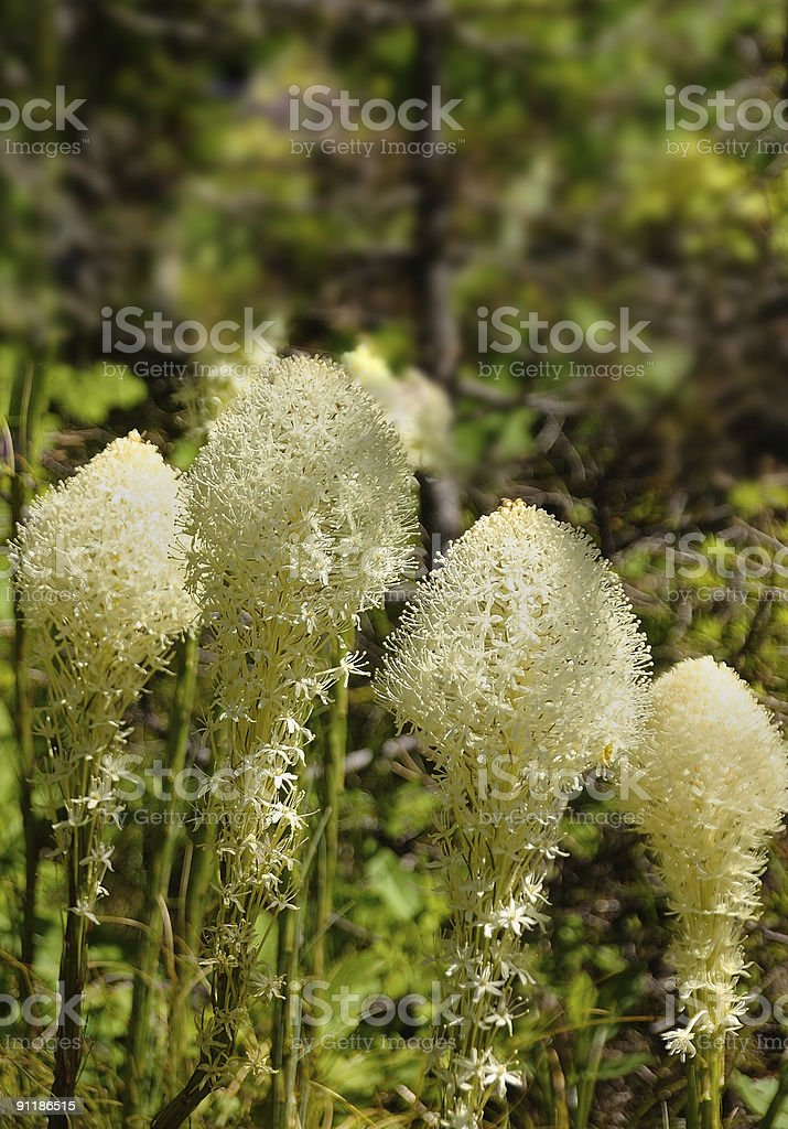 Beargrass Blosoms In Glacier National Park Xerophyllum tenax stock photo