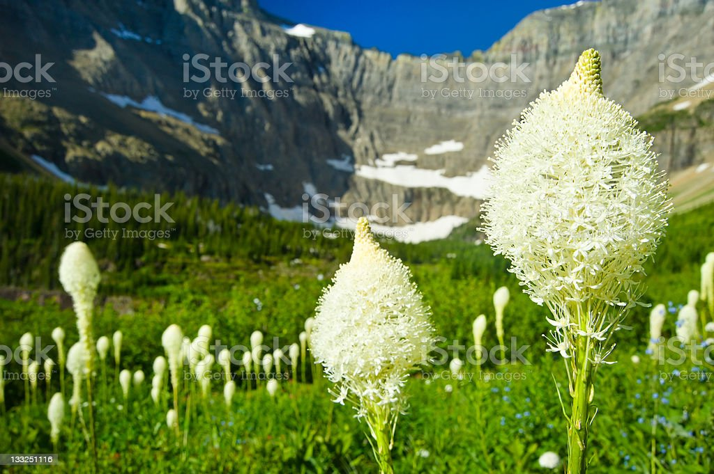 Beargrass in Scenic Alpine Meadow Glacier National Park Montana royalty-free stock photo