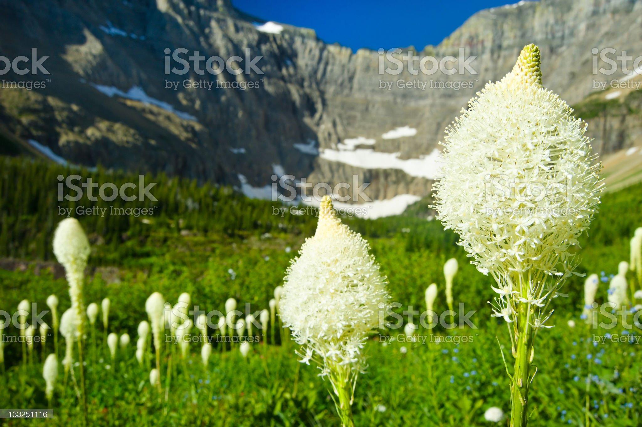 Beargrass in Scenic Alpine Meadow Glacier National Park Montana royalty-free stock photo