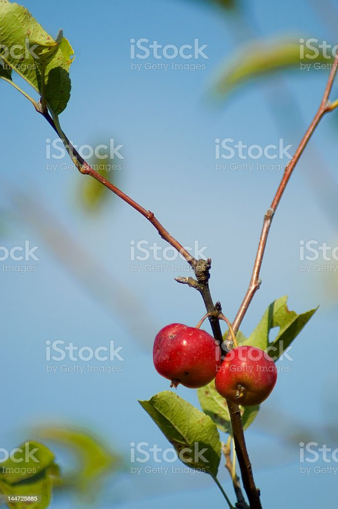 Bearing Fruit stock photo
