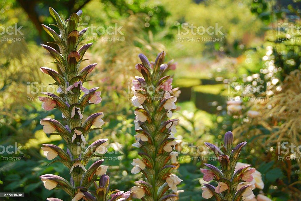 bear's breeches growing side by side in a garden. stock photo