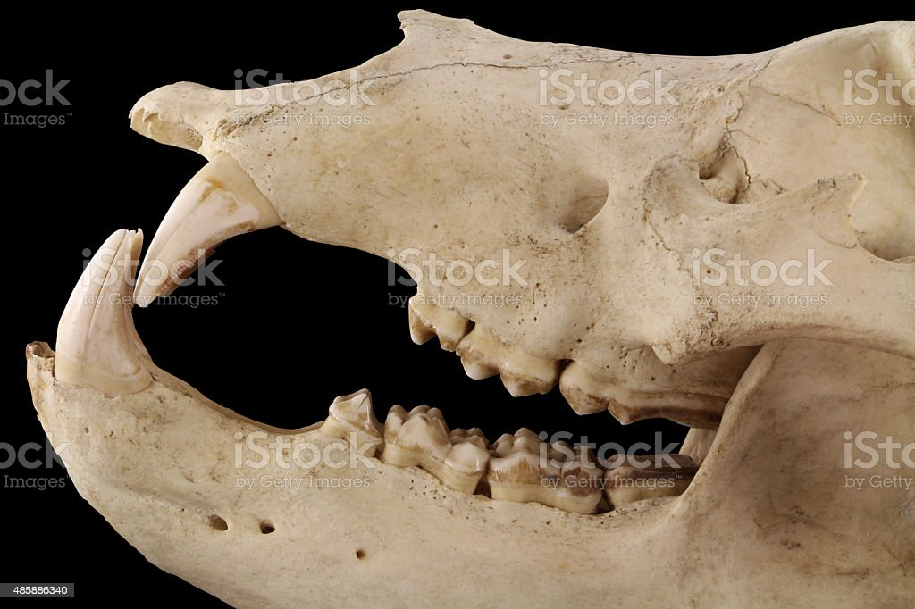Bear's jaws isolated on a black background close up stock photo