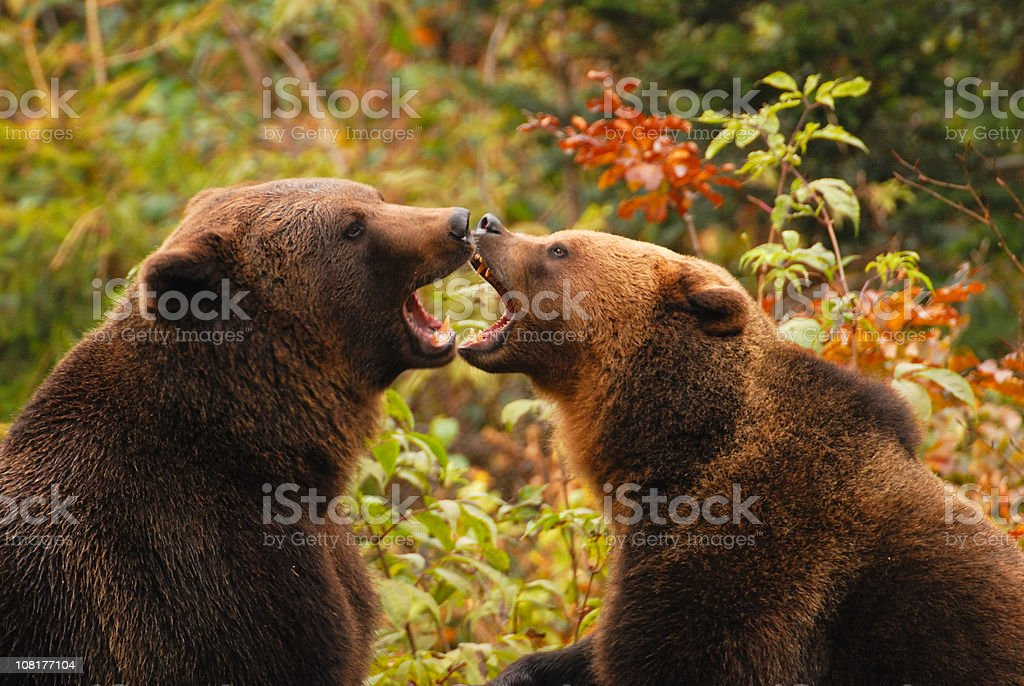 Bears kissing royalty-free stock photo