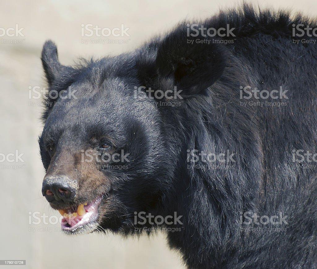 Bear's smile royalty-free stock photo