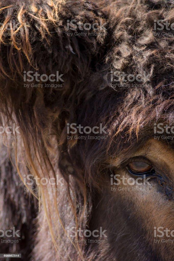 Beast. Mythological creature: minotaur, troll, or giant hairy monster. Actually a large poitou donkey. stock photo