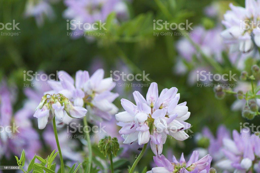 Beatiful liloac wild flowers royalty-free stock photo