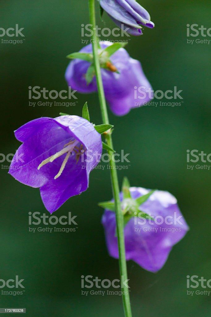 Beatiful violet wild flower royalty-free stock photo