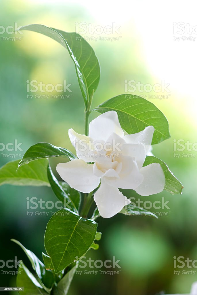 Beatiful white common gardenia or cape jasmine flower stock photo