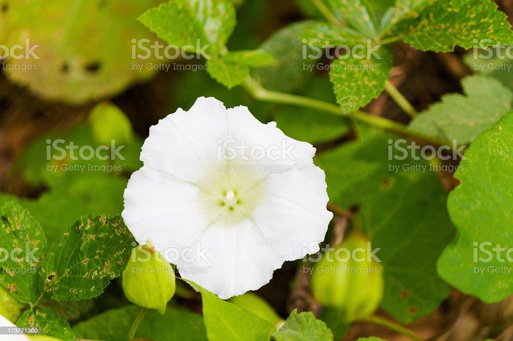 Beatiful white wild flower royalty-free stock photo