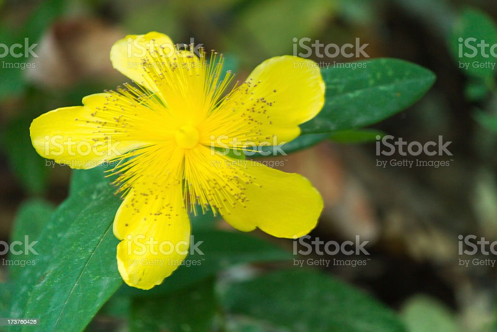 Beatiful yellow wild flower royalty-free stock photo