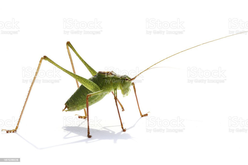 Beatifull grasshopper and his shadow royalty-free stock photo