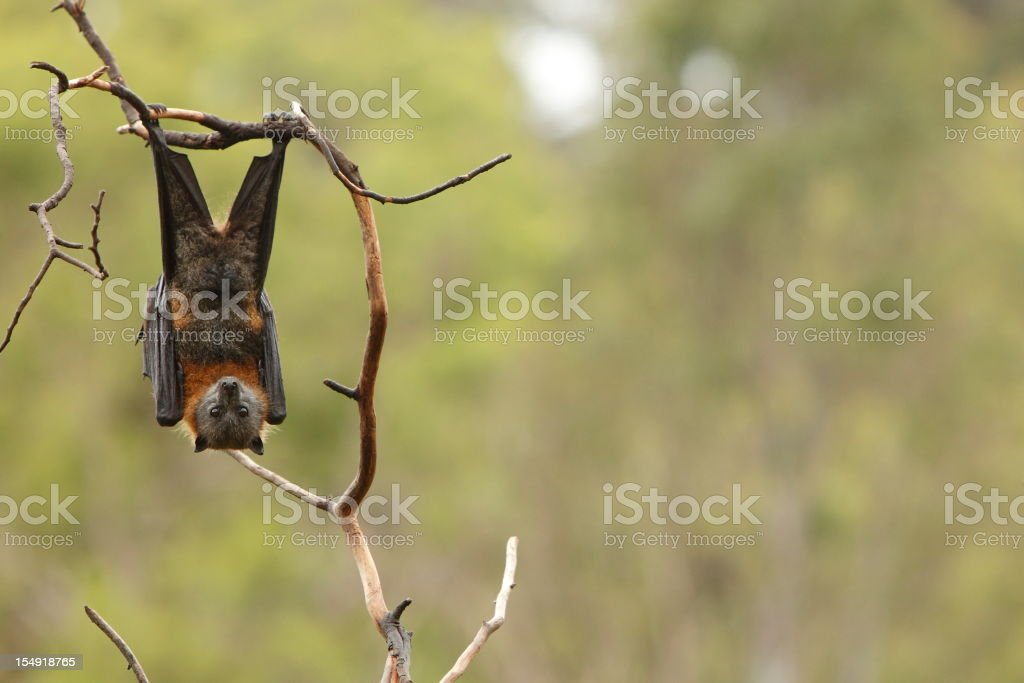 Bat royalty-free stock photo