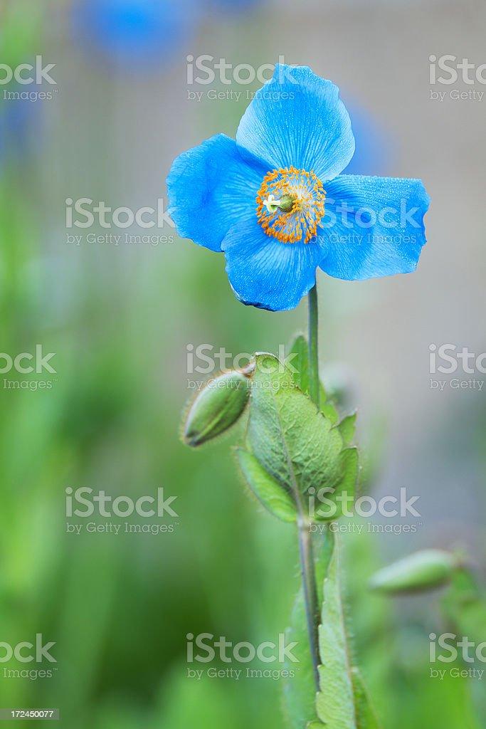Beau Blue stock photo