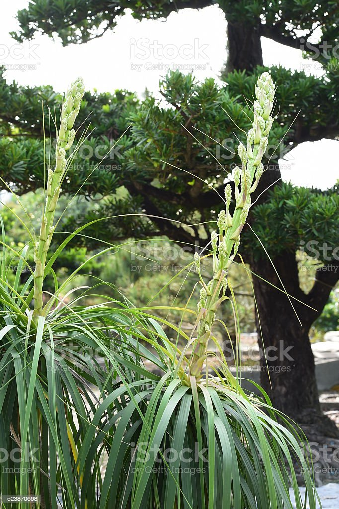 beaucarnea recurvata stock photo
