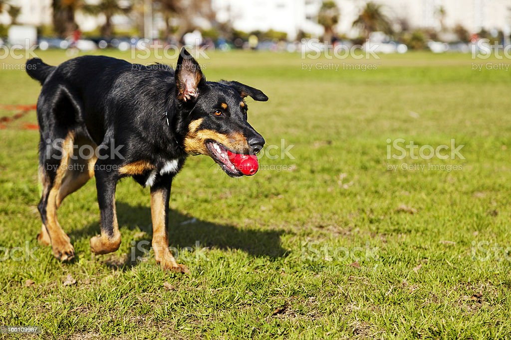 Beauceron / Australian Shepherd Dog with Toy at the Park royalty-free stock photo