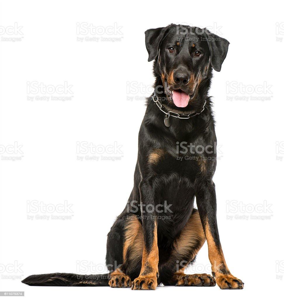 Beauceron panting and sitting, isolated on white background stock photo