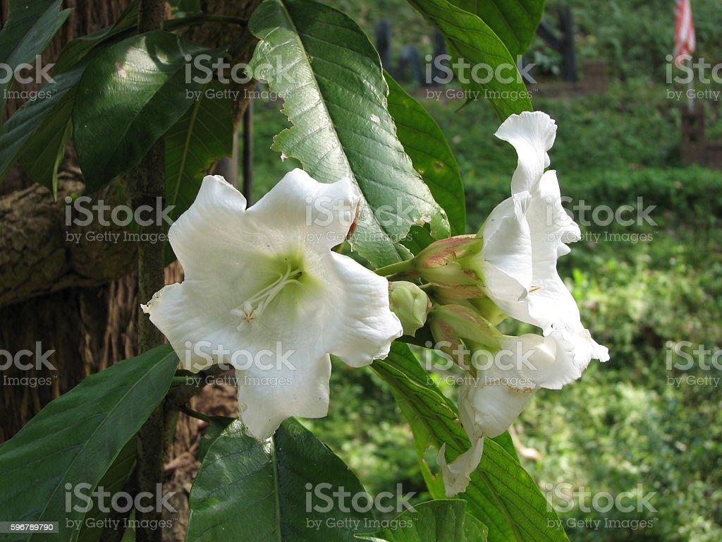 Beaumontia grandiflora. stock photo