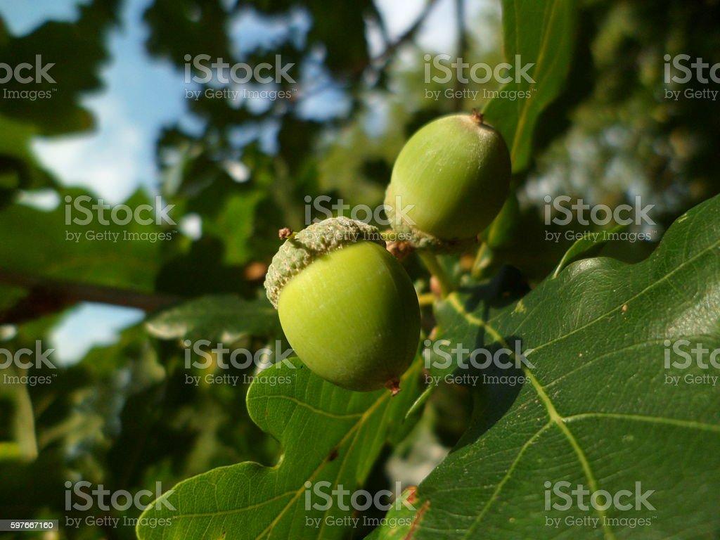 Beautiful acorns on an oak tree stock photo