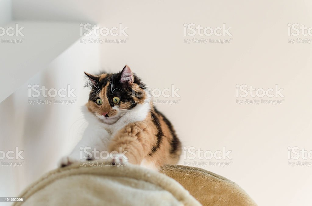 Beautiful adult calico cat fearing the height stock photo