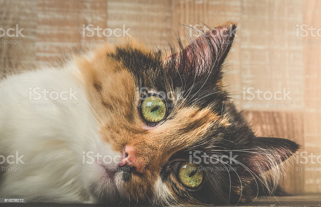 Beautiful adult three colored calico cat Pixie stock photo