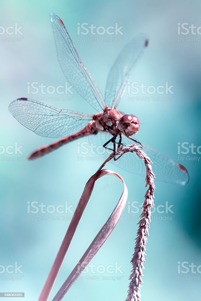 Beautiful aesthetic portrait of a dragonfly stock photo