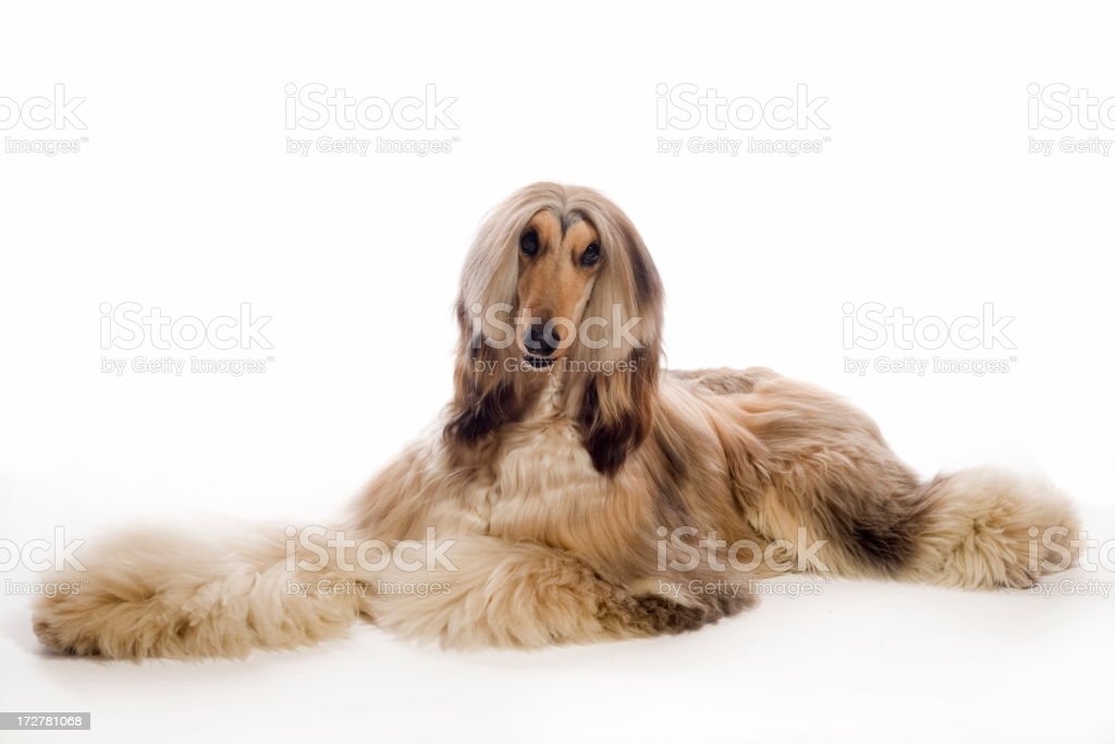 Beautiful afghan hound lying on the floor royalty-free stock photo