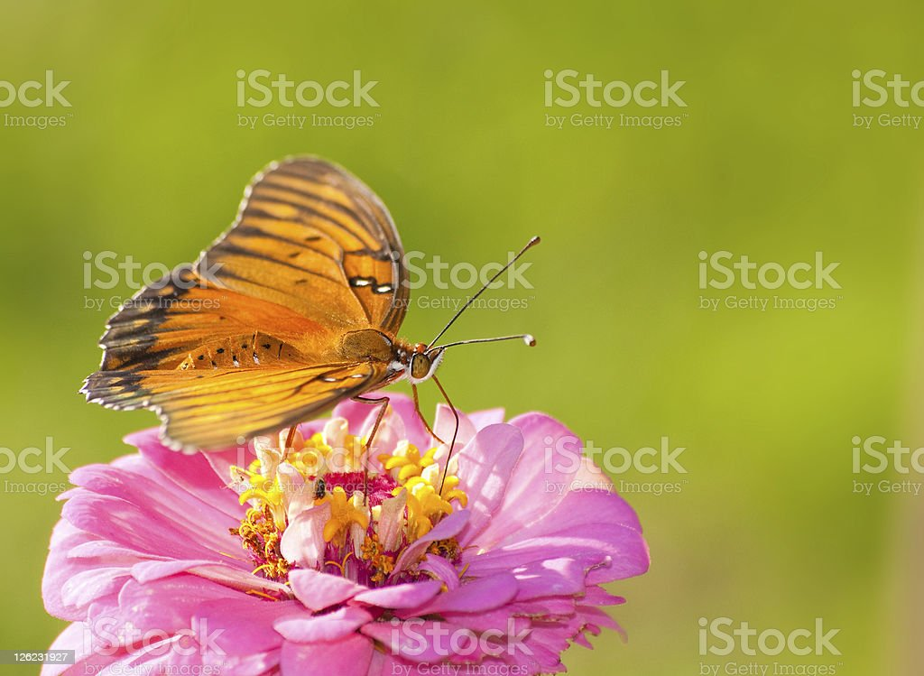 Beautiful Agraulis vanillae, Gulf Fritillary butterfly royalty-free stock photo
