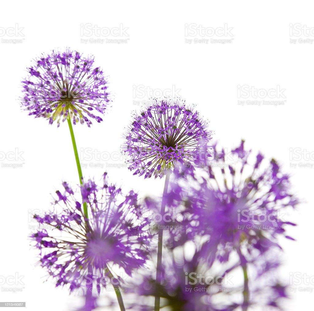 Beautiful Allium / abstract  on white stock photo