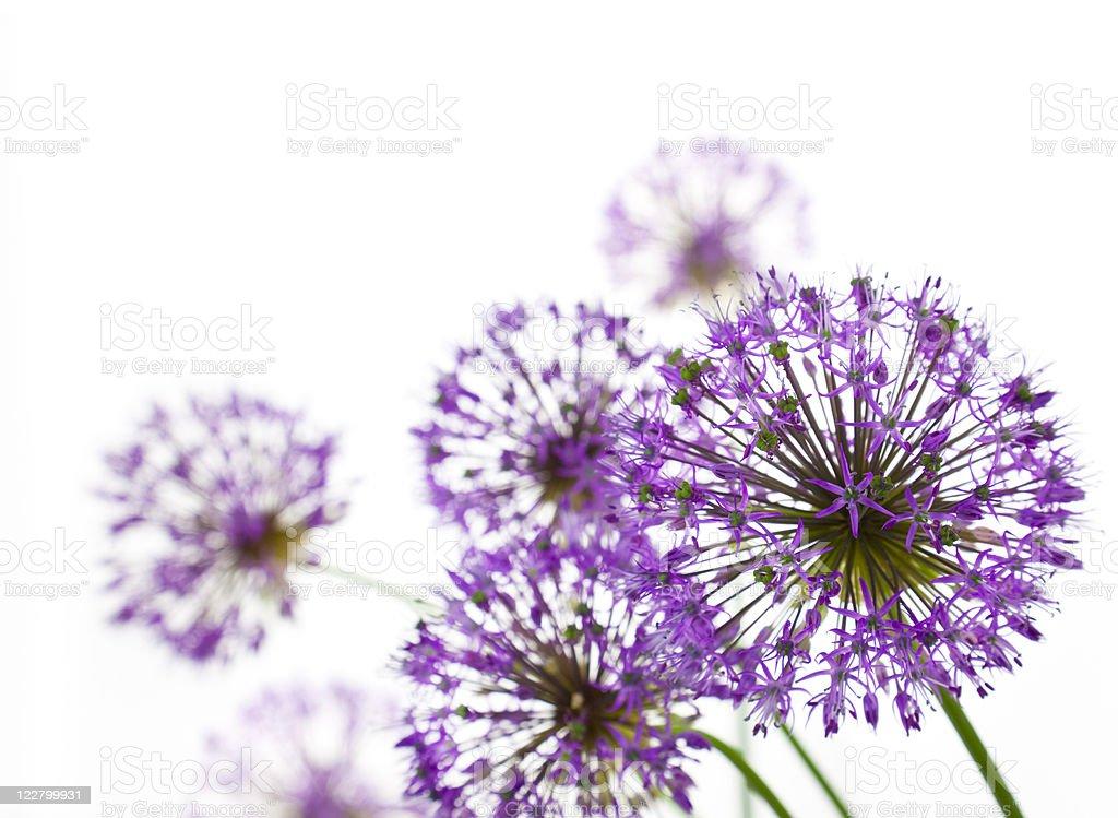 Beautiful Allium / abstract  on white royalty-free stock photo