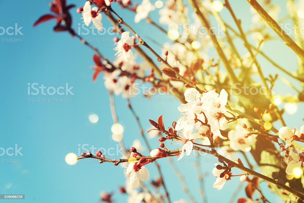 beautiful almond flowers stock photo
