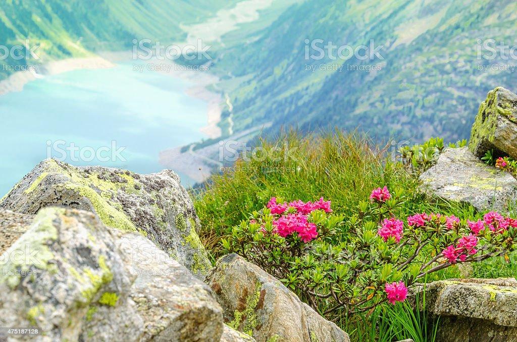 Beautiful alpine landscape flowers Alps, Austria stock photo