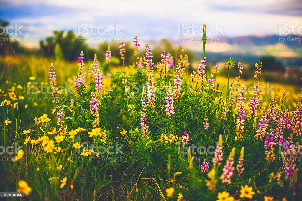 Beautiful alpine wildflowers growing in field. Summer in USA stock photo