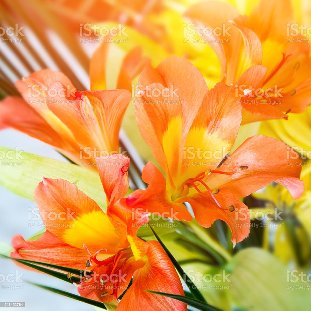 Beautiful Alstroemeria ligtu orange and yellow fresh flower close-up stock photo