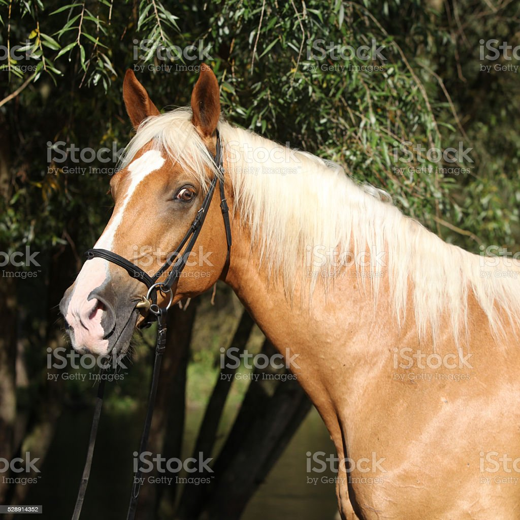 Beautiful amazing palomino warmblood with blond hair stock photo