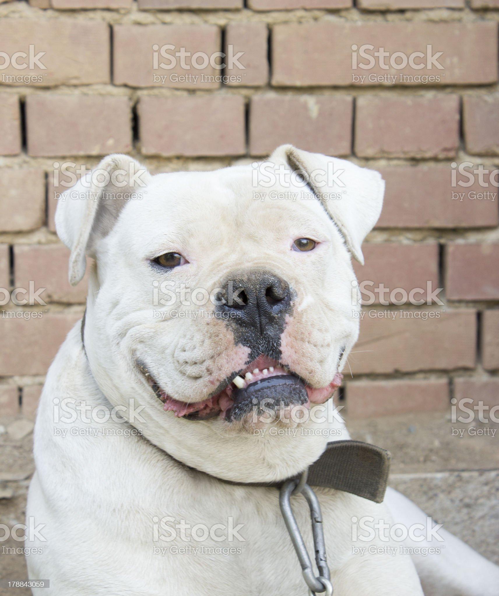 beautiful american bulldog royalty-free stock photo