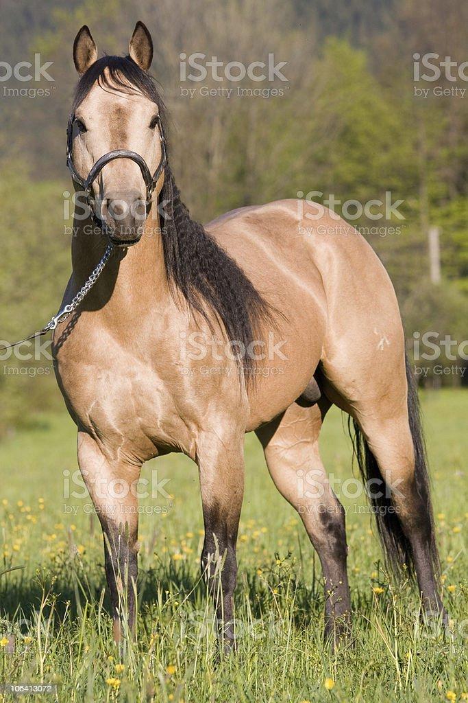 Beautiful American Quarter horse stallion stock photo