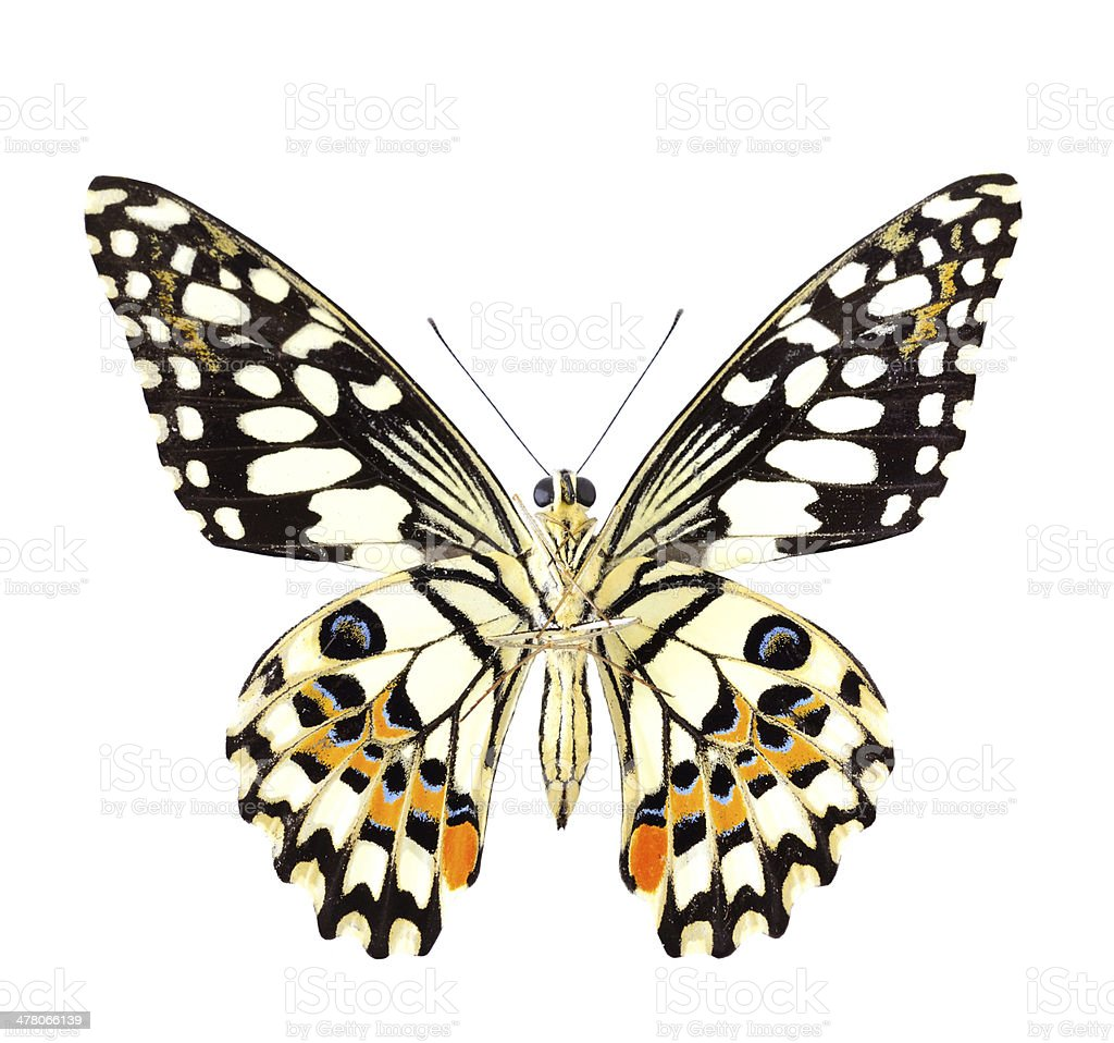 Beautiful and colorful of Lime Butterfly, papilo demoles, lower wings stock photo