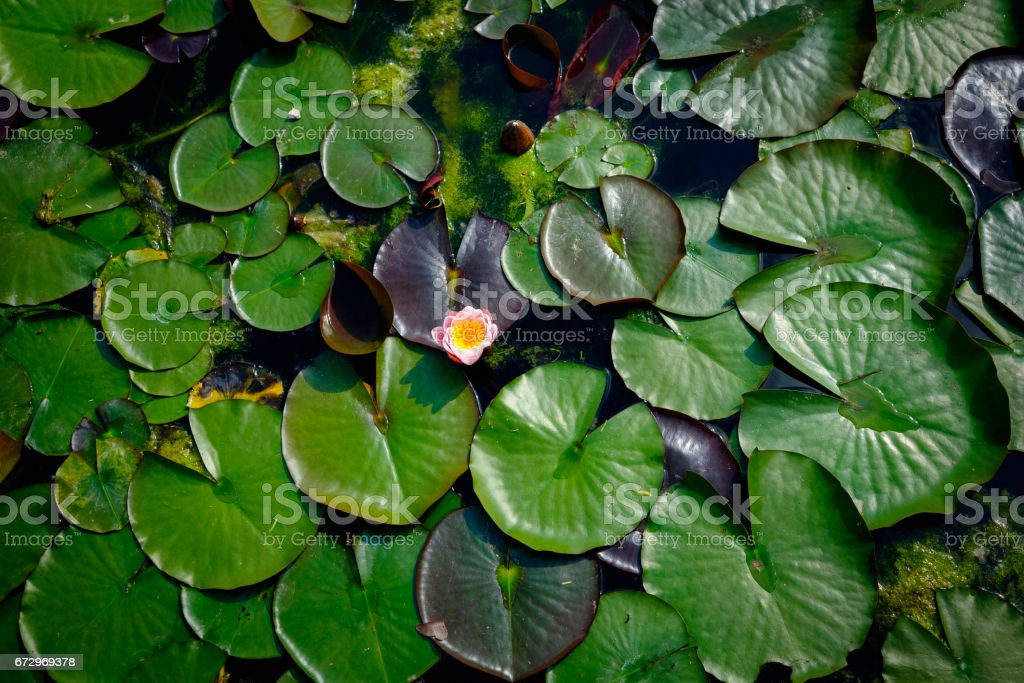 Beautiful and colorful water lily stock photo