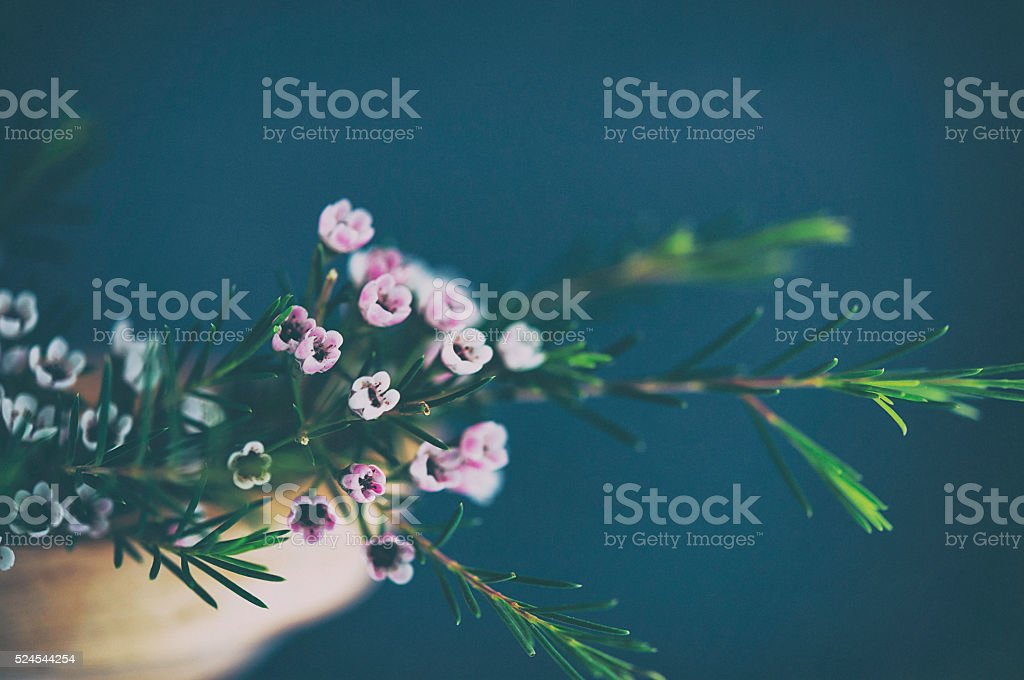 Beautiful and delicate waxflowers arranged in wooden bowl stock photo