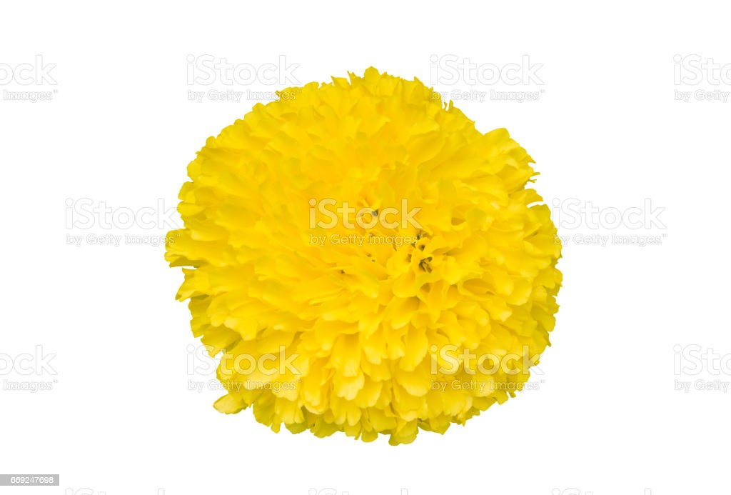 Beautiful and fresh yellow Mexican marigold bud flower (Tagetes erecta) isolated on white background with clipping path included for graphic design use stock photo