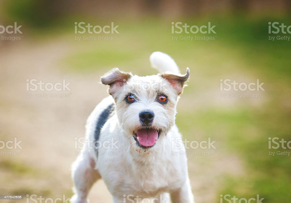 beautiful and fun young parson russel terrier dog jack russel stock photo