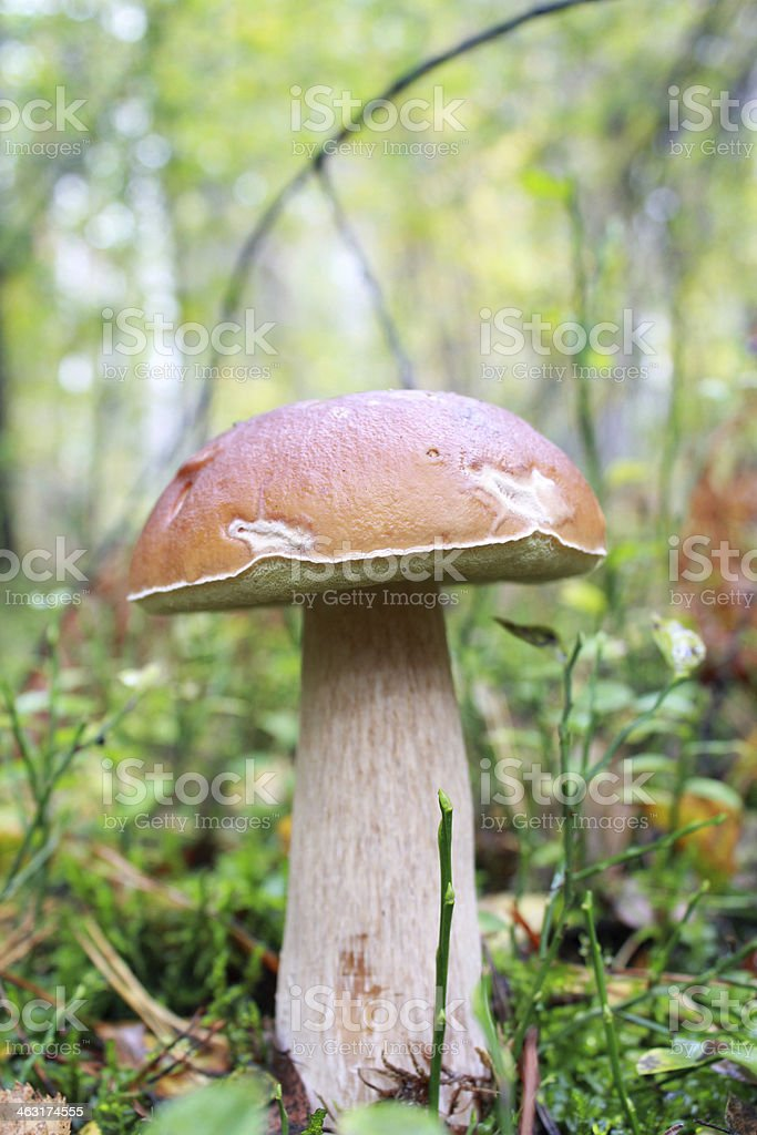 Beautiful and little cep in the forest royalty-free stock photo