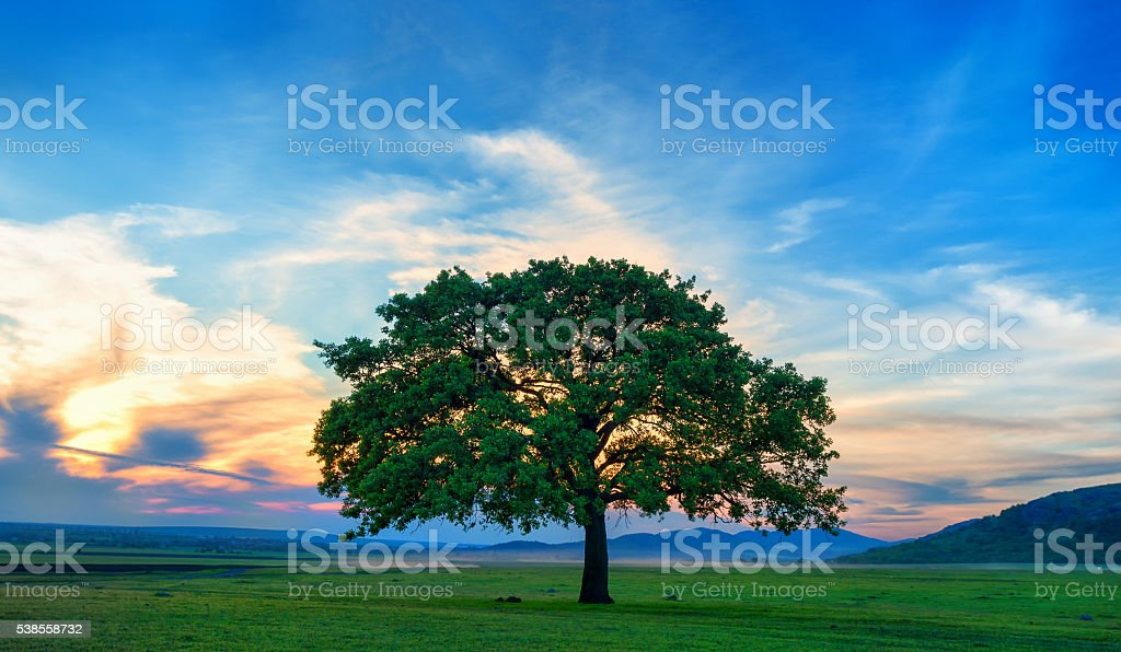 Beautiful and old Oak at the sunset stock photo