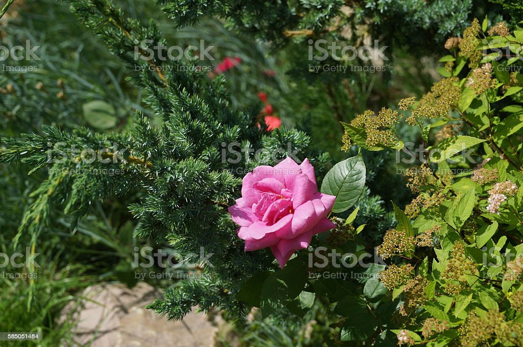beautiful and proud flower is bright delicate rose stock photo