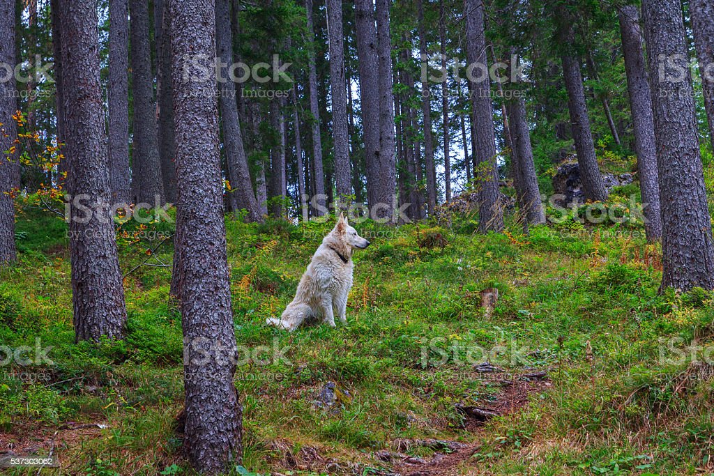 Beautiful and smart white dog in the woods stock photo
