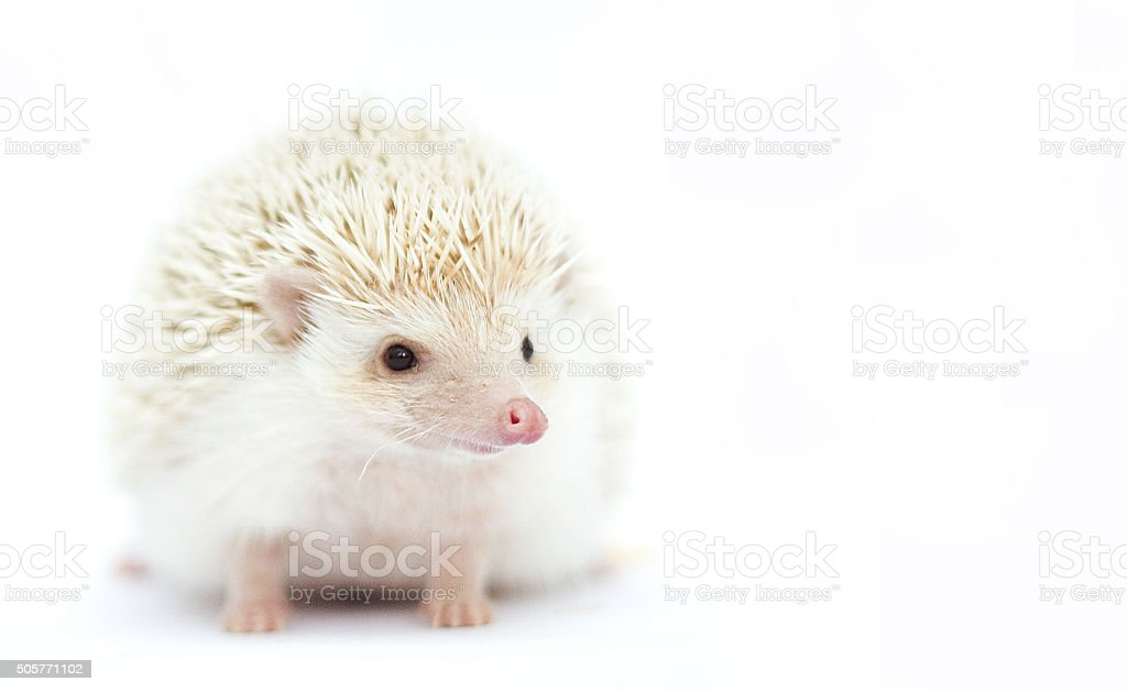 beautiful and young cute african pygmy hedgehog girl stock photo