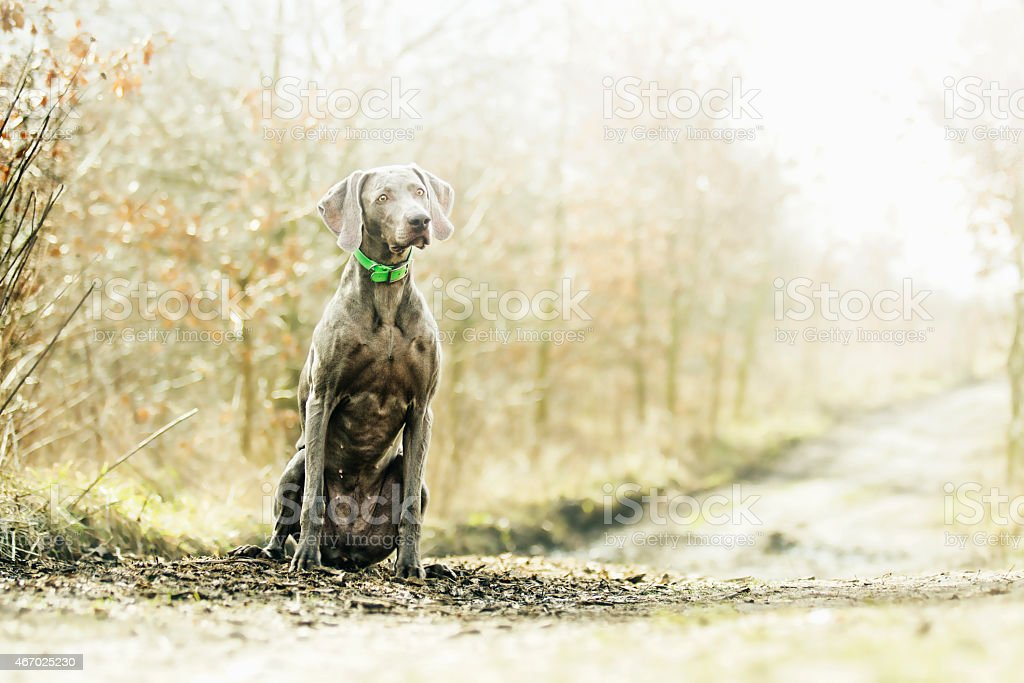 beautiful and young weimaraner dog puppy sitting spring background stock photo